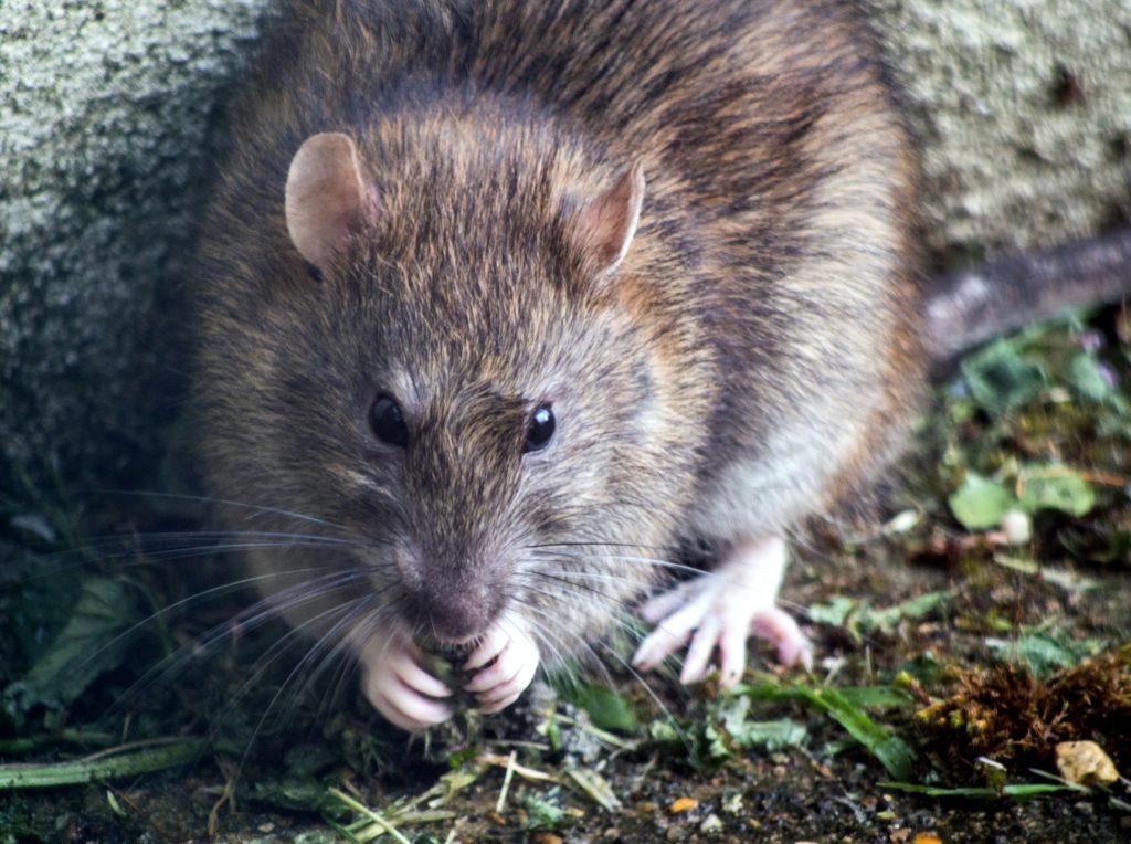 Veneno Caseiro para Infestação de Ratos